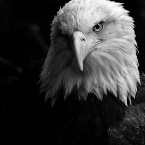 National Bald Eagle Day!