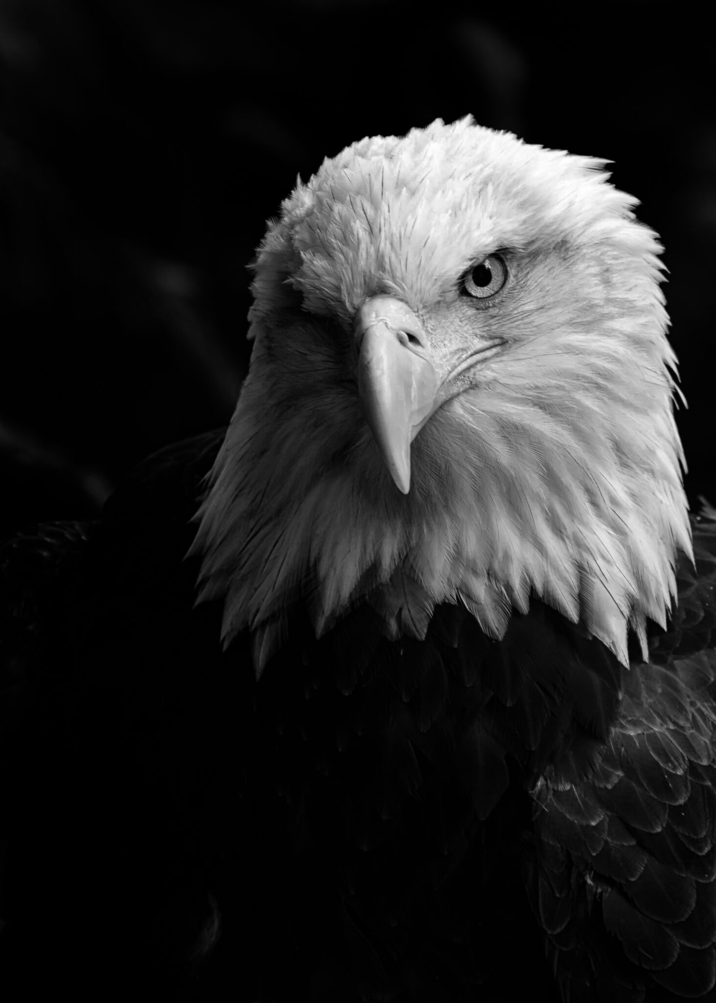 You are currently viewing National Bald Eagle Day!